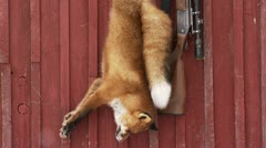 A dead fox hanging on a house wall - stock footage