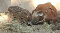 483 5761 Red River Hogs in ZooRed River Hogs in Zoo Stock Footage
