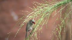 Common Waxbill  (IEstrilda astrild) - stock footage