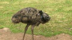 Emu in a field Stock Footage