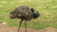 Stock Video Footage of Emu in a field