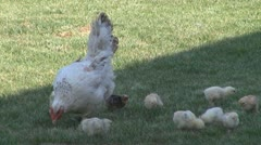 Hen and chicks Stock Footage