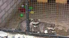 Raccoons - stock footage