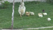 Stock Video Footage of Hen and chicks