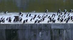 Pied cormorants in Tasmania Stock Footage
