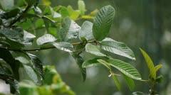 Guava Tree Leaves Rain Storm Stock Footage