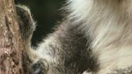 Koala extreme close up Stock Footage