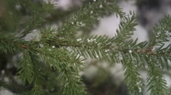 The branch of a spruce, close-up Stock Footage
