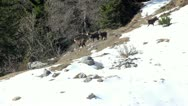 Herd of chamois in its natural environment, spring, italian Orobic Alps. Stock Footage