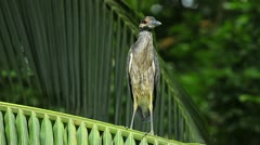 Yellow-crowned night heron Stock Footage