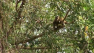 Stock Video Footage of Brazil: monkeys running on a trees in Amazon 5