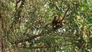 Stock Video Footage of Brazil: monkeys running on a trees in Amazon 5