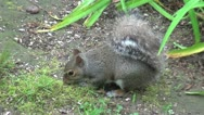 Stock Video Footage of Squirrel-Foraging2-20s