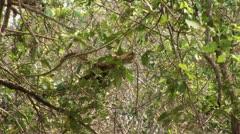 Brazil: monkeys running on a trees in Amazon 2 - stock footage