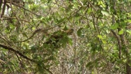Stock Video Footage of Brazil: monkeys running on a trees in Amazon 2