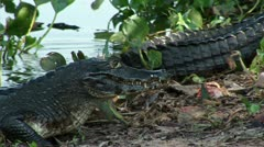 Brazil: Amazon river region fauna - crocodile 6 Stock Footage