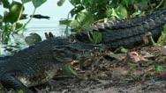 Stock Video Footage of Brazil: Amazon river region fauna - crocodile 6