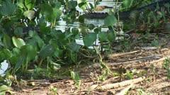 Brazil: Amazon river region fauna - crocodile 10 Stock Footage