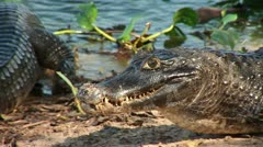 Brazil: Amazon river region fauna - crocodile 5 Stock Footage