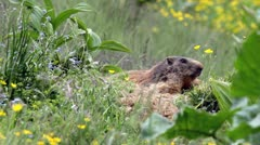 Alpine marmots (Marmota marmota) in late spring, motionless. Stock Footage