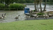 Stock Video Footage of canada geese in the rain walking 2
