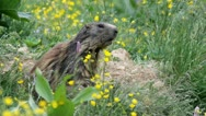 Alpine marmot (Marmota marmota) launching the alarm whistle. Stock Footage