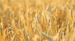 Fields of wheat - stock footage
