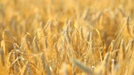 Stock Video Footage of Fields of wheat