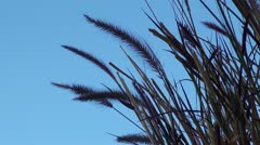 Ears of corn in the wind Stock Footage