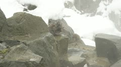 Crying baby snow monkey at Jigokudani, Japan Stock Footage