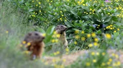 Two alpine marmots (Marmota marmota) launching the alarm whistle. - stock footage