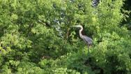 Stock Video Footage of Great blue heron taking flight