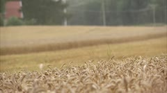 MS SELECTIVE FOCUS Wheat field, combine harvester in background - stock footage