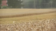 MS SELECTIVE FOCUS Wheat field, combine harvester in background Stock Footage
