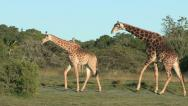 Giraffe in pre-mating courtship Stock Footage