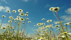 Camomile flowes and blue sky - stock footage