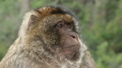 Barbary Ape in Gibraltar Stock Footage