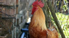 Red rooster crowing Stock Footage