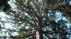 Large Tree Full HD Stock Footage