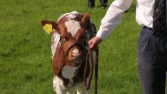 Short horn cattle being shown at county fair, England Stock Footage