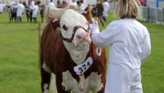 Cow being shown at county fair, England Stock Footage