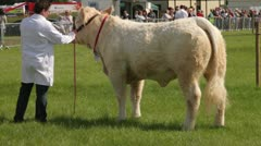 Man showing prize bull at county show, England Stock Footage
