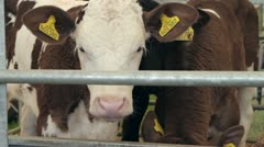 Calves being shown at county show, england Stock Footage