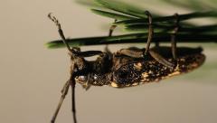 Beautiful female of Whitespotted Sawyer Beetle, Monochamus scutellatus Stock Footage