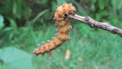 Great Peacock Moth Caterpillar hanging, Saturnia pyri Stock Footage