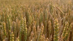 Wheat slider Stock Footage