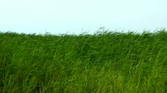 reed in pond - stock footage