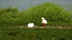 white geese near a pond - stock footage