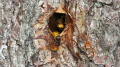 Hornet's nest in tree hollow - timelapse Stock Footage