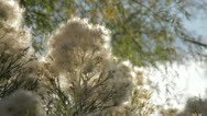 Fluffy Plant 1 Stock Footage